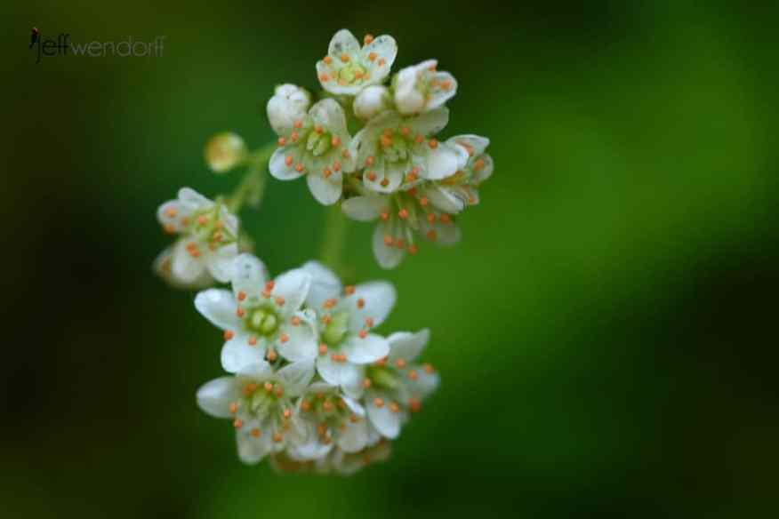 Oregon Saxifrage,Saxifraga oreganaan Oregon Wildflower macro image on Eagle Creek Trail photographed by Jeff Wendorff