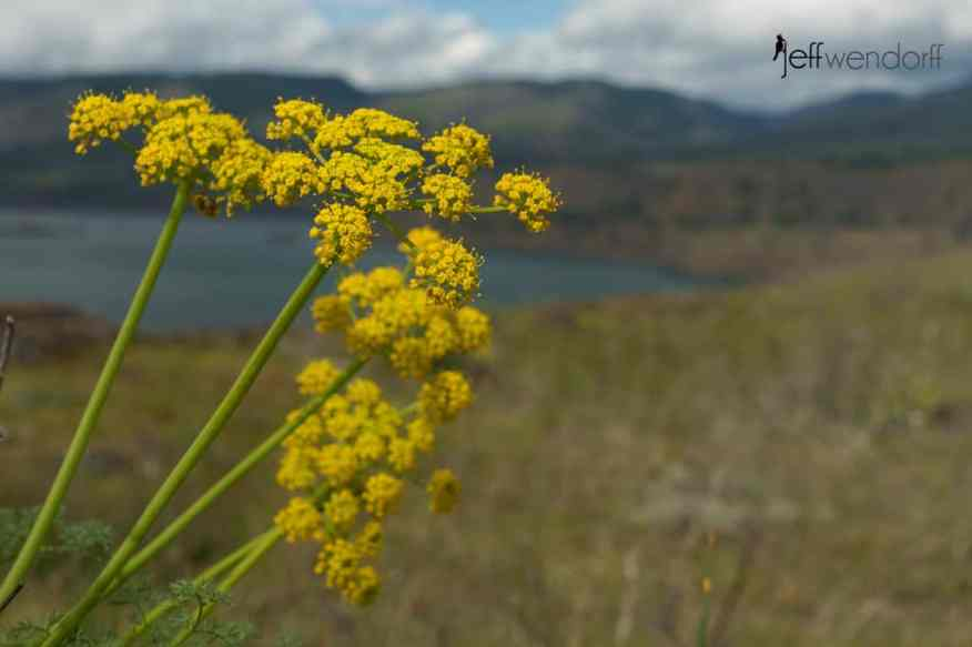 Gray's Desert Parsley, Lomatium grayi at the Rowena Plateau photographed by Jeff Wendorff
