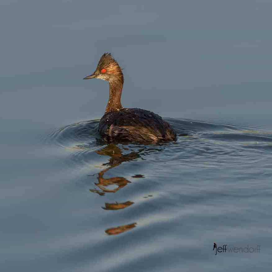 Eared Grebe, Podiceps nigricollis. Also Black-necked Grebe photographed by Jeff Wendorff at Henderson Bird Preserve