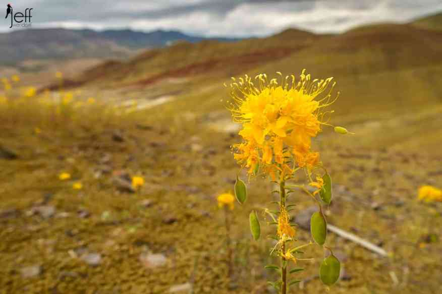 Golden Bee Plant in the Painted Hills of Oregon photographed by Jeff Wendofrff