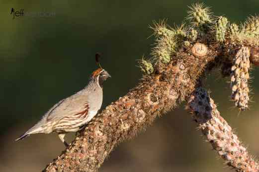 Gambel's Quail, on a cactus perch in sweet morning light by Jeff Wendorff