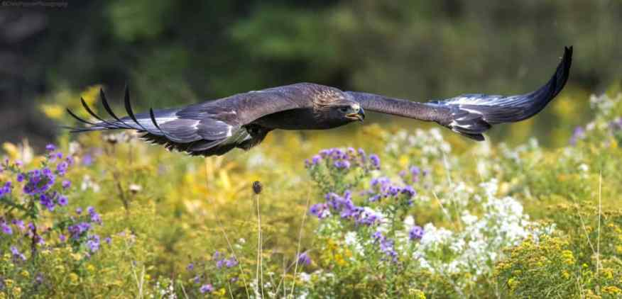 Golden Eagle flying over a meadow on the Fall Colors and More photo workshop