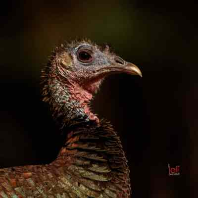 Wild Turkey Photos