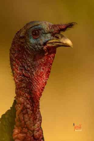 Wild Turkey (Gould's Subspecies), Meleagris gallopavo mexicana by Jeff Wendorff