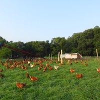Hens ranging on pasture