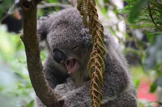 Koala qui s'endort au zoo de Sydney