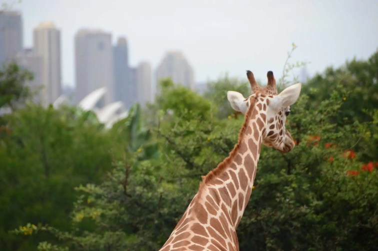 Vue sur l'opéra depuis les girafes au zoo de Taronga Sydney