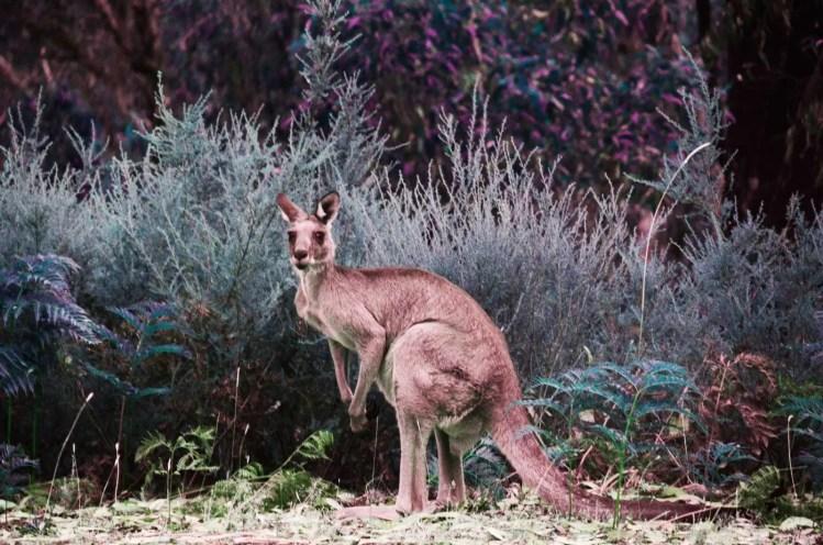 Kangourou aux Grampians