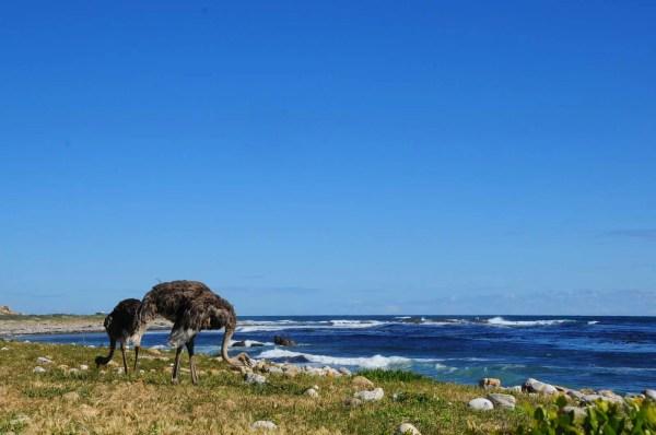 Autruches au Cap de Bonne Espérance