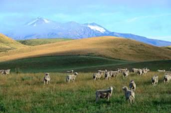 Moutons sur la route de Tongariro