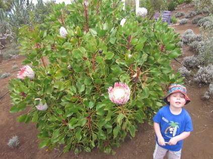 Giant flower at the Ali'i Kula Lavender Farm