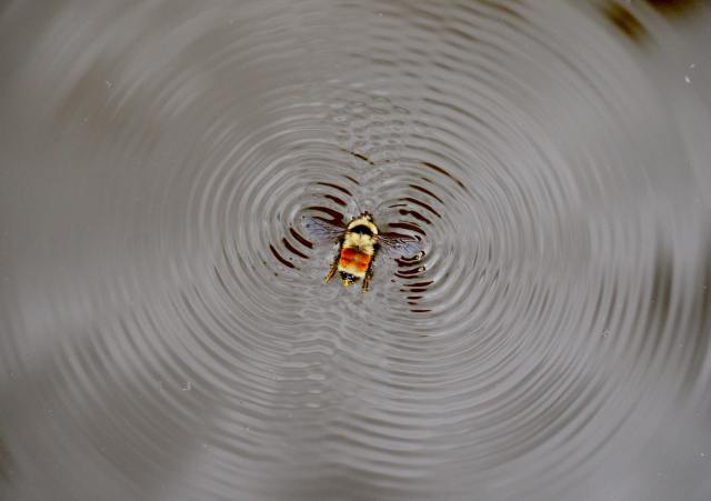 A honeybee creating ripples on water, image shot from above