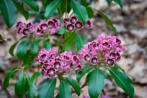 Deep burgundy kalmia flowers with brighter pink buds and glossy green foliage.