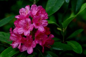 Cluster of bright pink rhododendron flowers against a background of lush, green foliage.