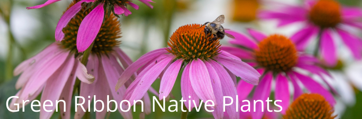 A fuzzy bumblebee visiting a bright pink coneflower with white text that reads: Green Ribbon Native Plants.