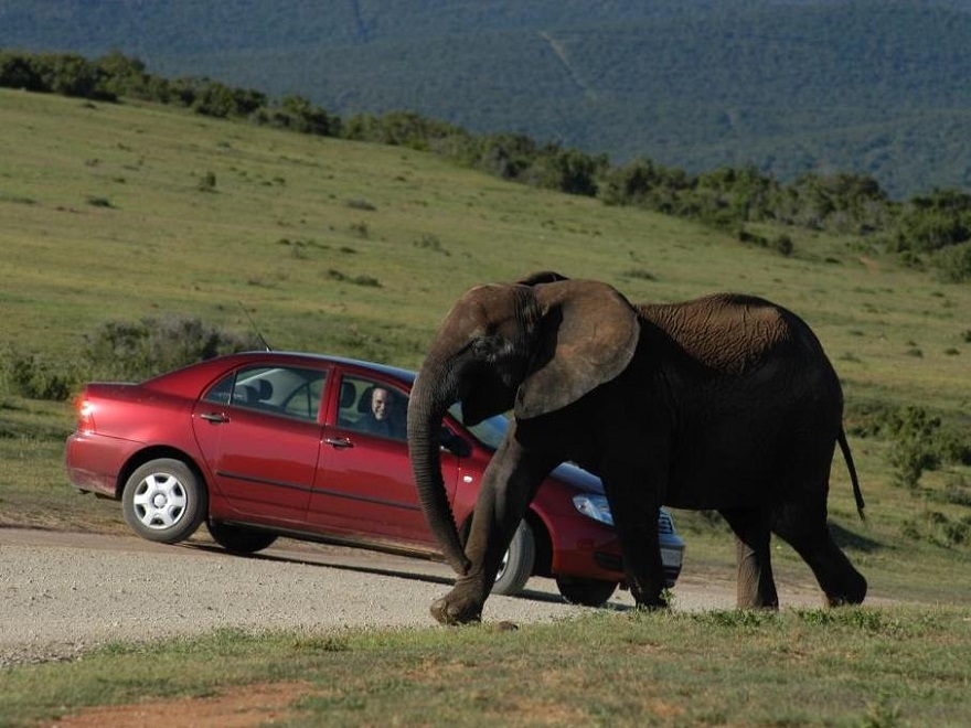 South African Self Drive - Guest in vehicle spotting an elephant