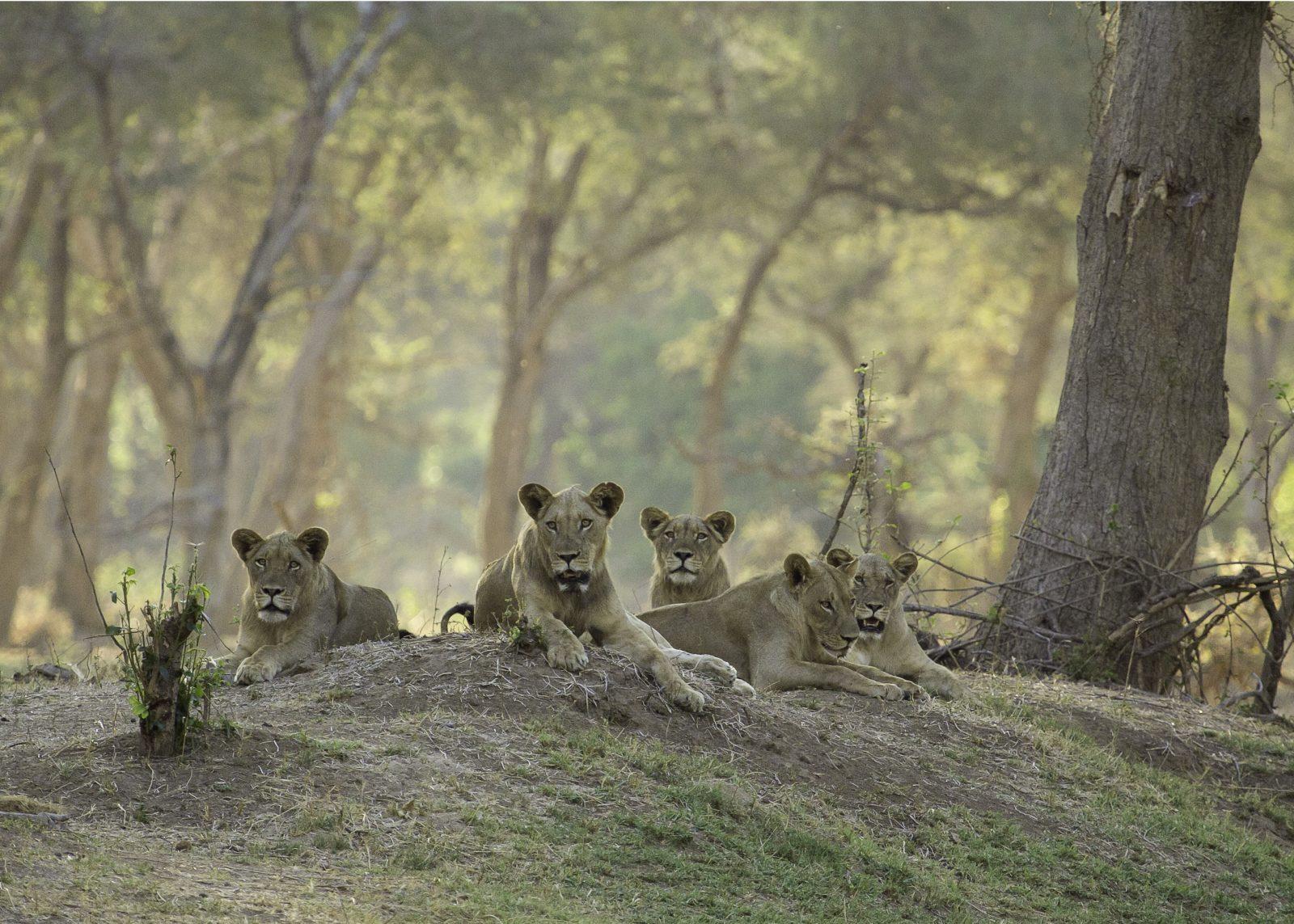 Wildlife Photography | Lion Pride