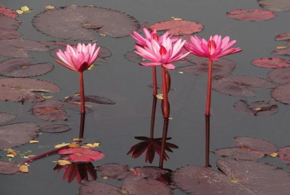 water-lily-1210719_960_720.jpg