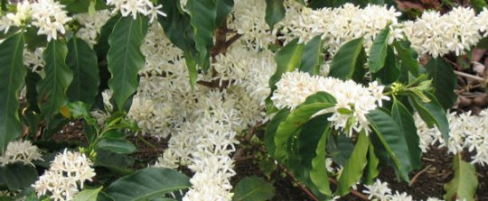 A flowering coffee plant