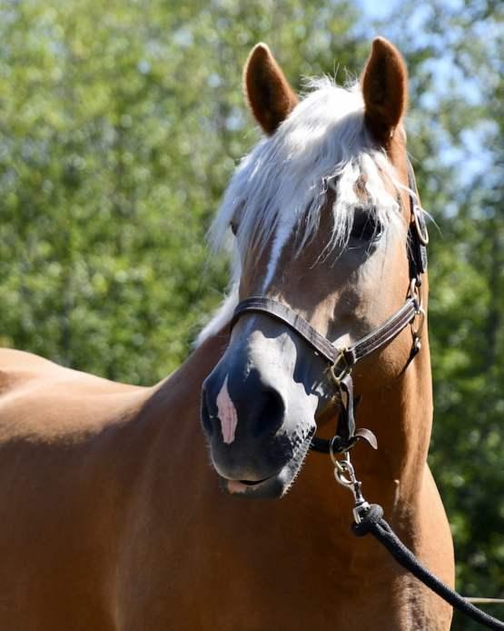 haflinger, jennifer pratt, blonde horses