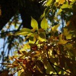 Beech Tree with Yellow Autumn Foliage