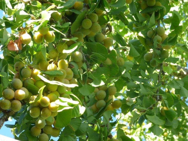 ginkgo biloba tree fruits ©www.jenniferramirezbaulch.com