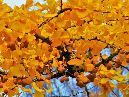 Autumn Fossil Ginkgo Biloba Jennifer Ramirez Baulch