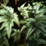 """Tuberous Begonia """"Anita Sharrad"""""""
