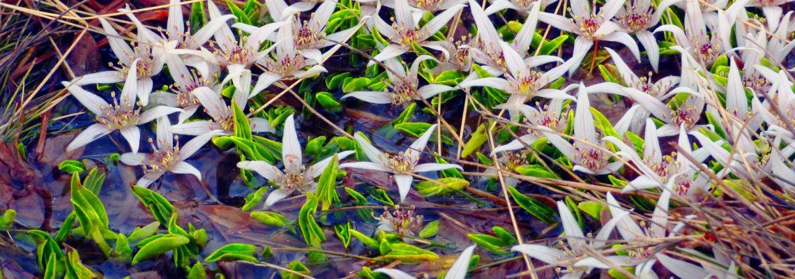 Mt Buffalo Alpine Marsh-Marigold Wild Flora