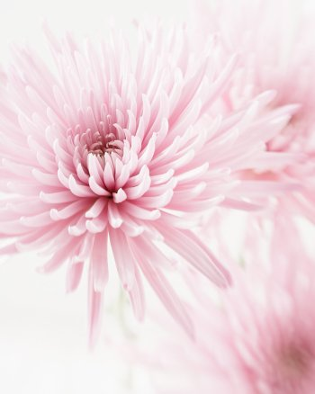 First Crush - Chrysanthemum Flowers Photography by Jennifer Squires
