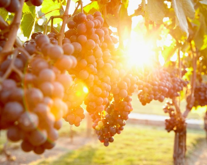 Vineyard Photography - Pelee Island Winery