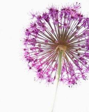 Botanical Prints - Purple Flower