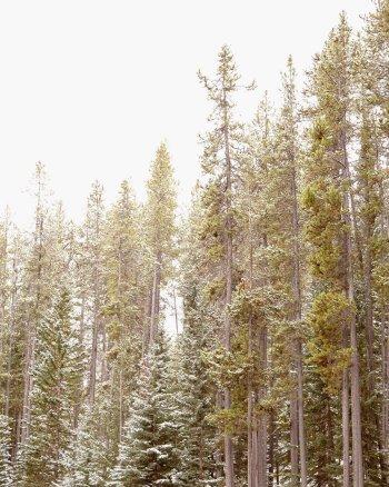 Pining for Comfort - Banff Tree Print Nature Photograph