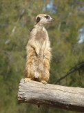 Meerkat on log