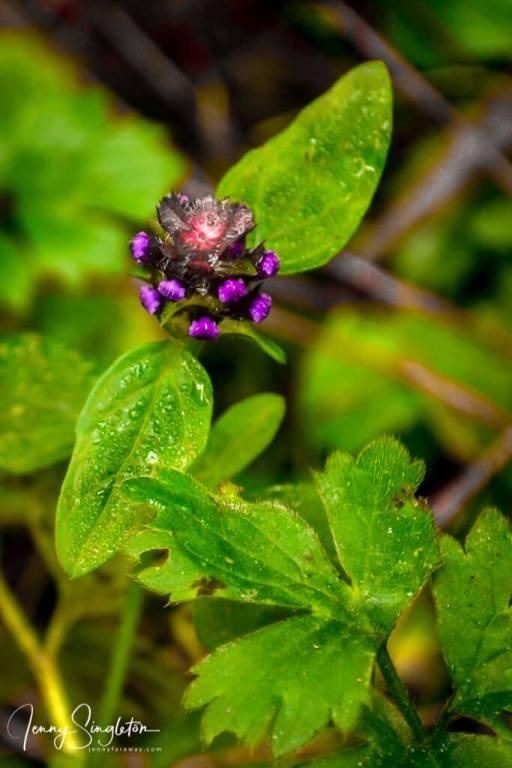 Wildflower on the Anaura Bay Walkway, East Cape, New Zealand