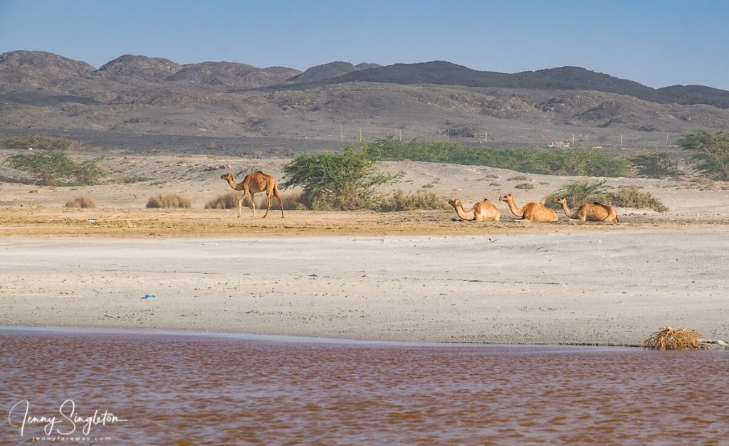Camels rest next to a pink lake on Masirah Island, Oman