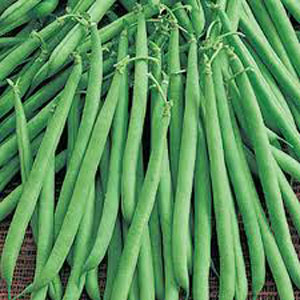 Bush-Bean-Maxibel