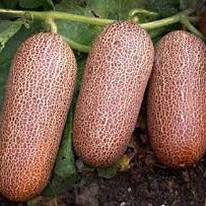 Poona Keera Cucumber
