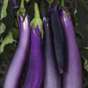 Pingtung Long Eggplant