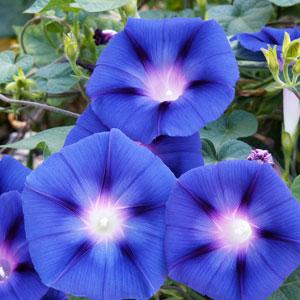 Morning Glory 'Heavenly Blue'