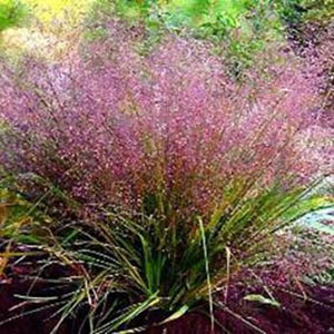 Purple Love Grass