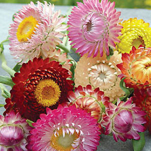 Strawflower Dwarf Mix