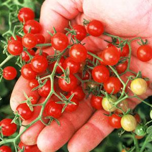 Red Currant Tomato