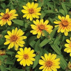 Zinnia Profusion Yellow