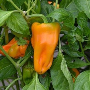 Petit Marseillais Pepper