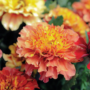 Strawberry Blonde Marigold