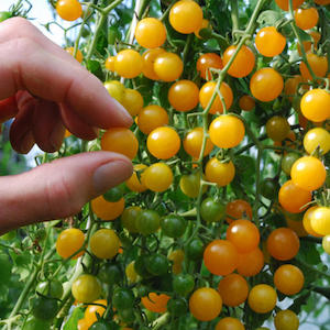 Gold Rush Yellow Currant Tomato