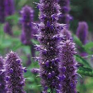 Agastache 'Licorice Blue'