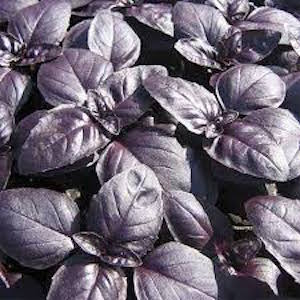 Crimson King Basil