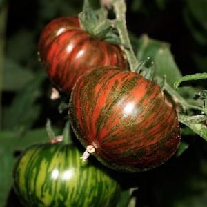 Tomato Chocolate Stripes